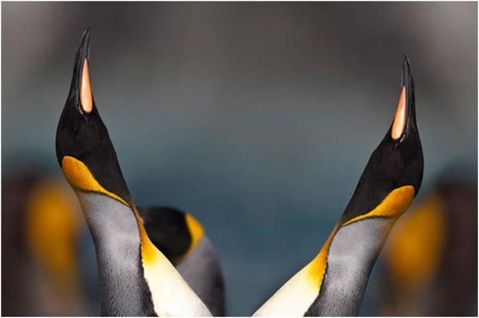 Пингвиньи разборки - видео