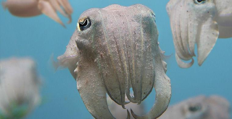 Каракатицы гермафродит, животные, пол