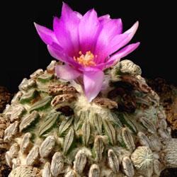 Самые уникальные в мире кактусы (фото и названия)
