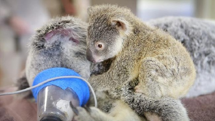 Детеныш коалы нежно обнимал ее во время операции.