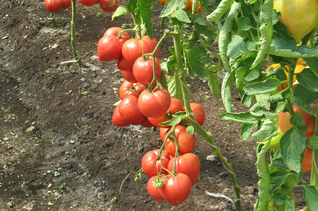 «Техосмотр» в теплице. Как сберечь урожай овощей в конце лета