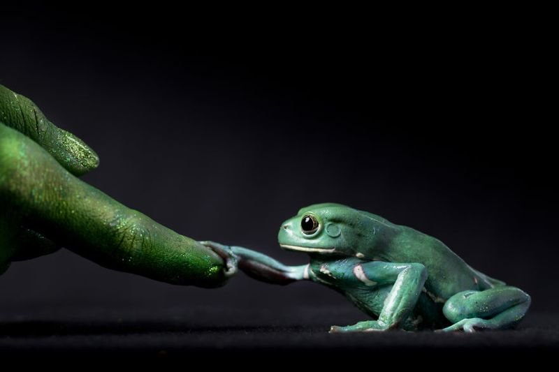 Восковая лягушка держится за вытянутый палец. Этот снимок является частью серии, которая посвящена нашим отношениям с амфибиями животные, искусство, планета земля, природа, фото, хрупкость