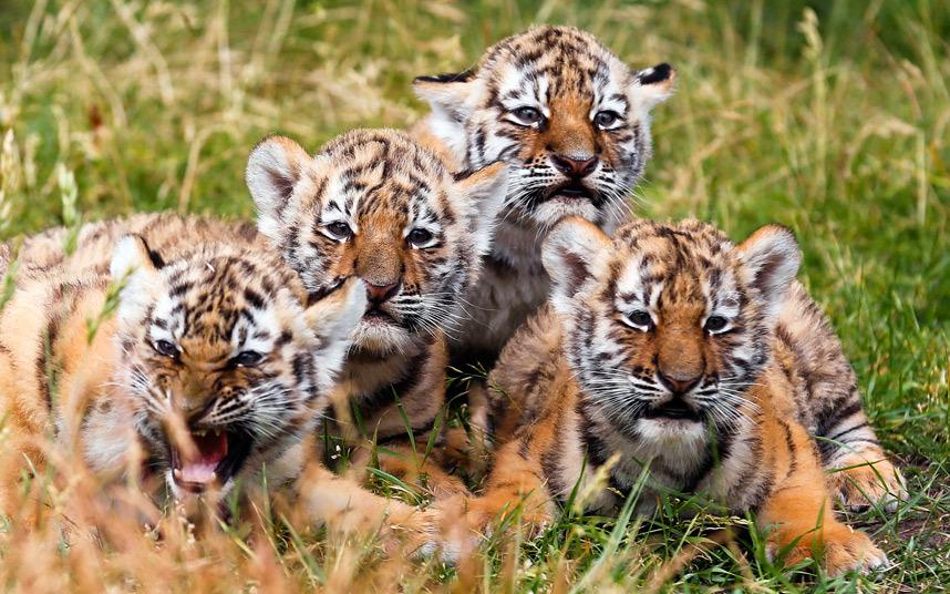 амурские тигрята в Берлине