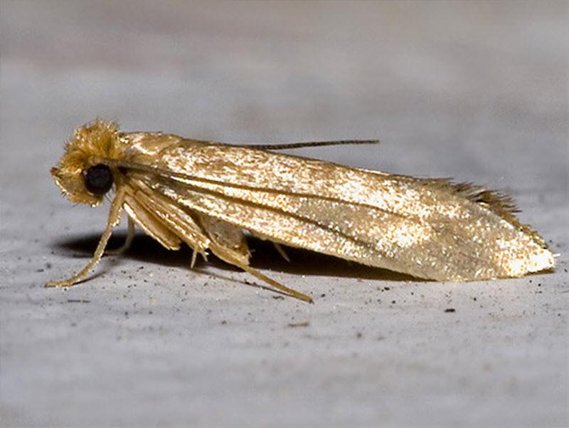 «Домашние» насекомые