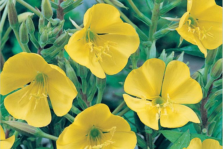 Полезные свойства растения первоцвет