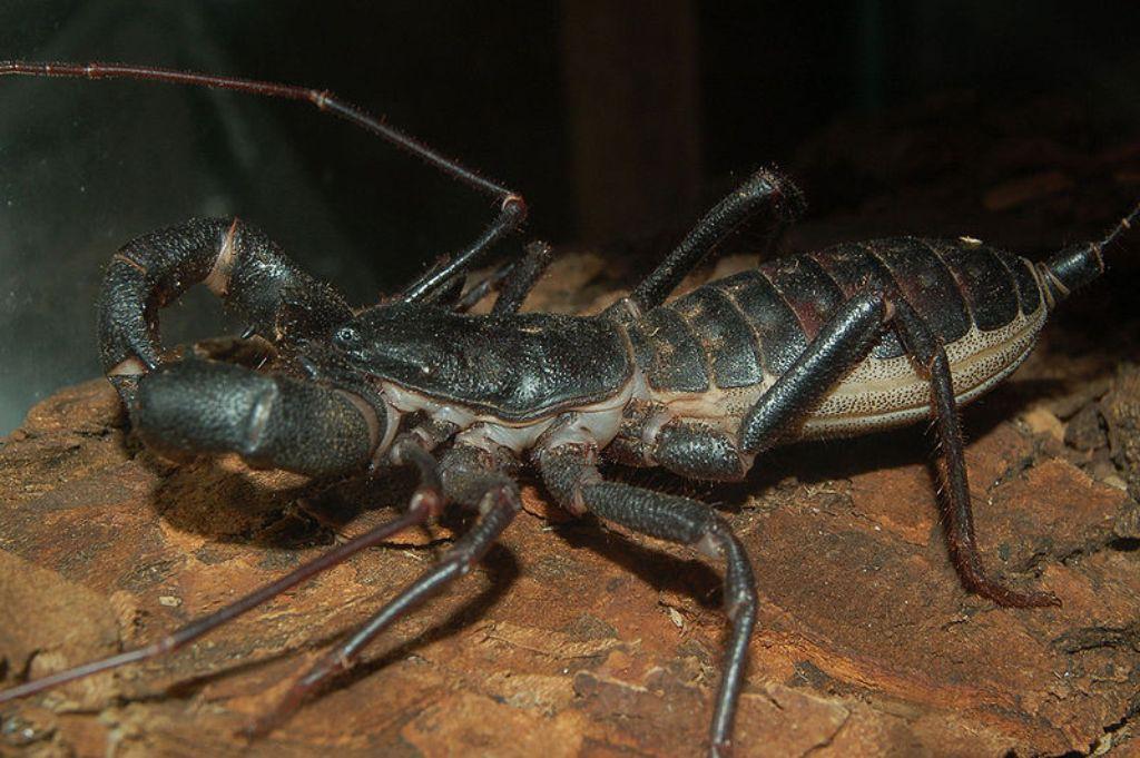 18. Телифон хвостатый (хвостатый паук) животные, факты