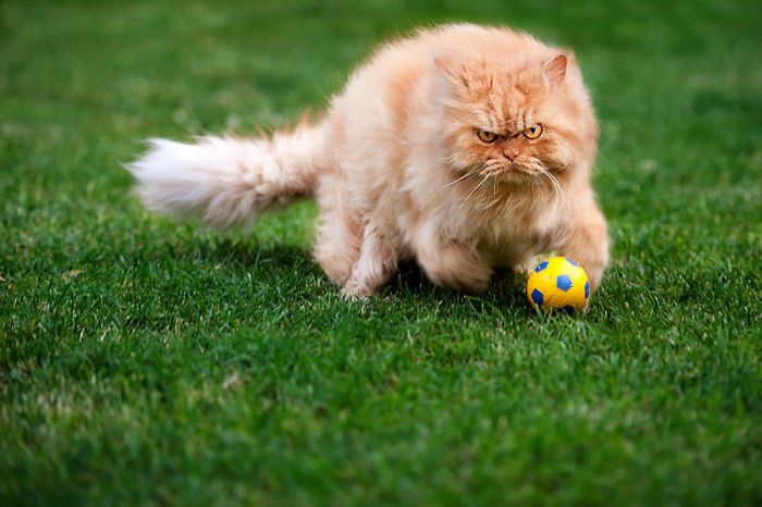 Garfi15 Гарфи, самый сердитый кот в мире