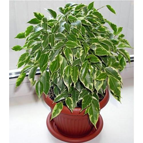 Комнатные растения фикусы фото