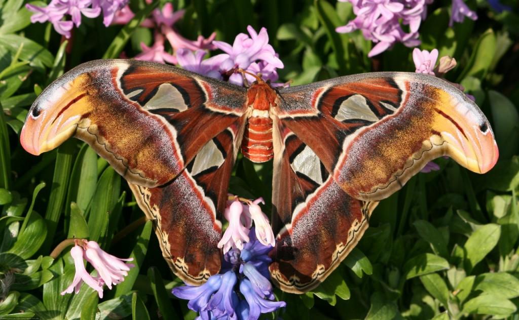 Самые большие ночные бабочки