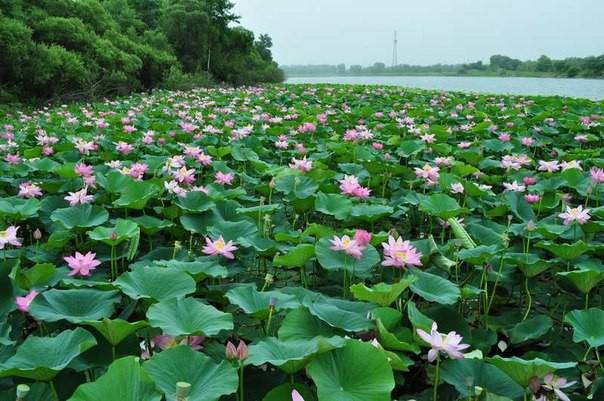 4)Дальний Восток лотос, природа, путешествия, растения, цветы