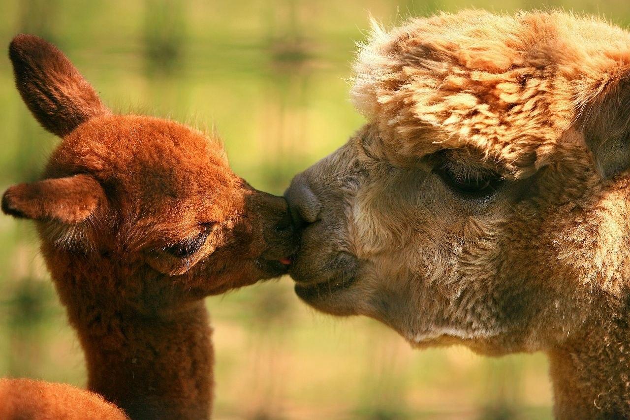 http://foto.infan.ru/img/f/93/2/29-animals_parents-lamas.jpg