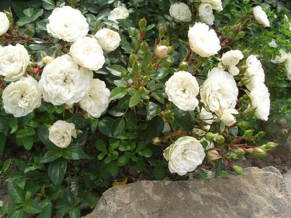 Миниатюрная роза сорт Cinderella