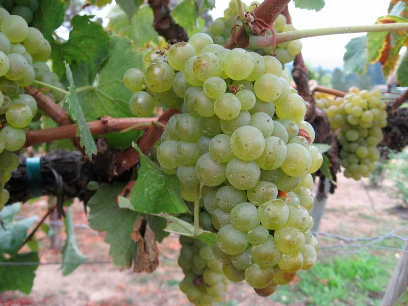 Виноград - посадка и уход.