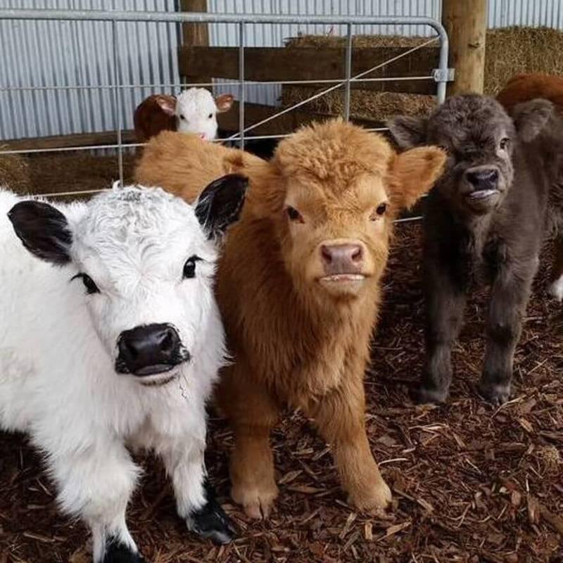 Крошка корова для домашней фермы