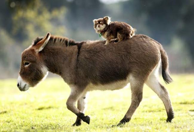 15 очаровательных карликовых осликов, в которых невозможно не влюбитьс миниослики, симпатяги, фото