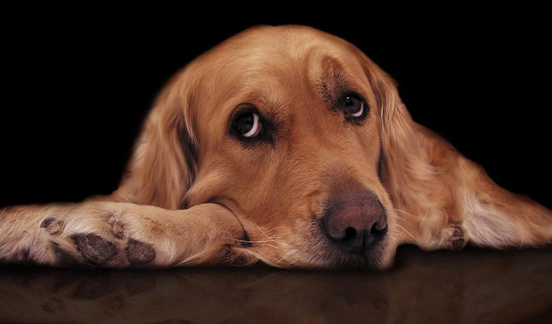 Как понять, что ваша собака в депрессии