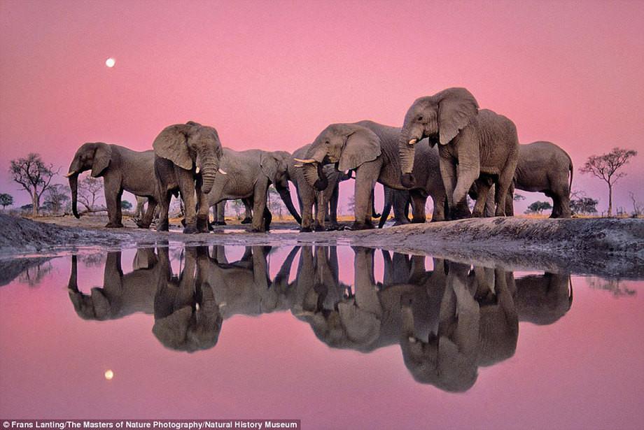 Приятный розовый: африканские слоны в сумерках. животные, история, музей, прикол, природа, фотографии