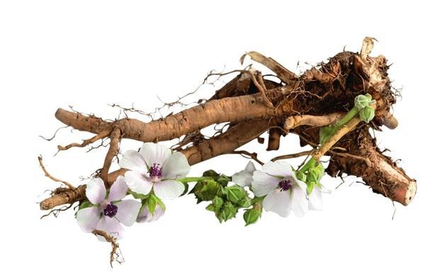 У алтея лекарственного цветки, листья и особенно корни содержат большое количество слизистых веществ