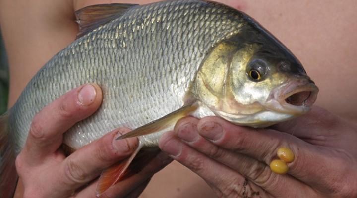 горох на рыбалку приготовление на прикорм