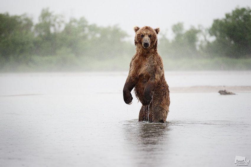 медведь рыбак сочинение