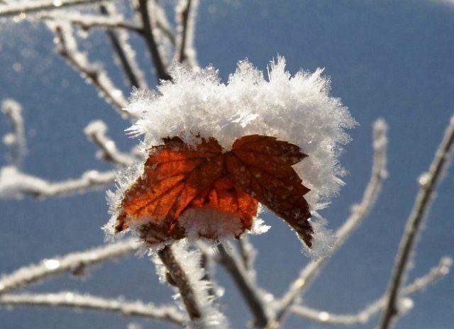 Смородина зимостойкое растение
