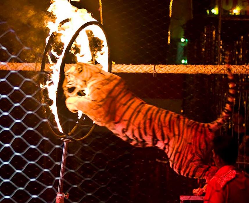Тигр потерял сознание во вре…