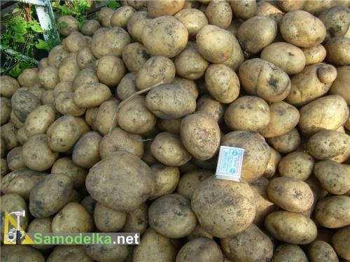 Сажаем картофель с отработанным субстратом