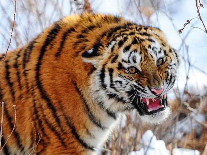 Амурский тигр фото  reviewplanetru