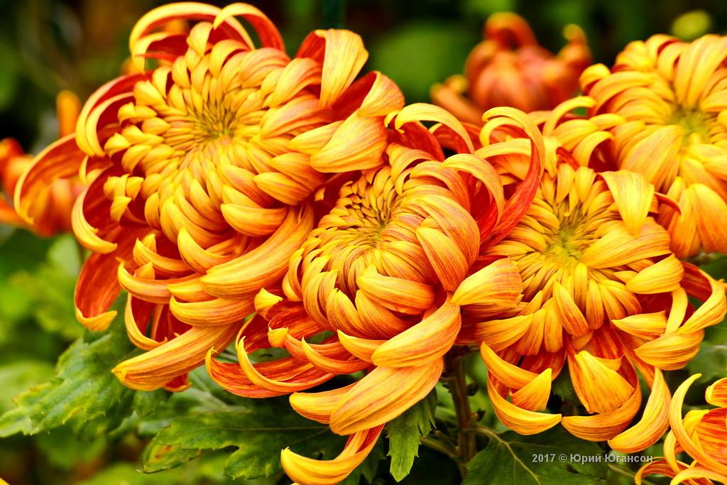 То в Никитском саду наступают мгновенья: Приглашает чарующий бал хризантем!