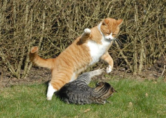 cat_flying_fight_08