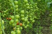 5 правил для получения вкусных томатов