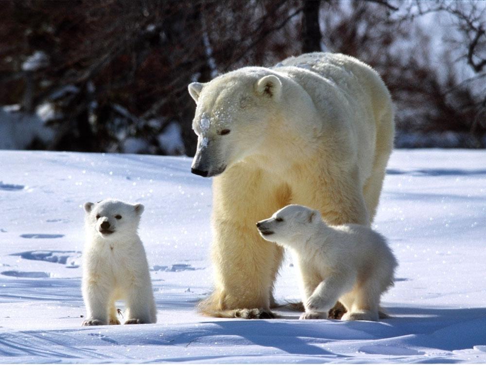 В России началось нашествие белых медведей. Фото
