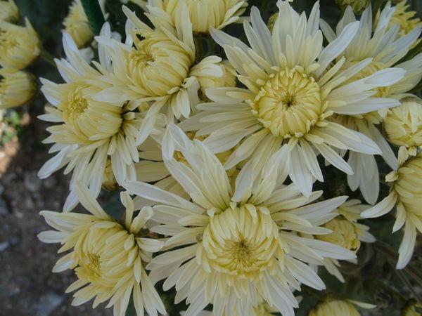 Хризантема сорт Царевна Лебедь