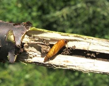 Ударить по вредителям. Как защитить черную смородину от насекомых?