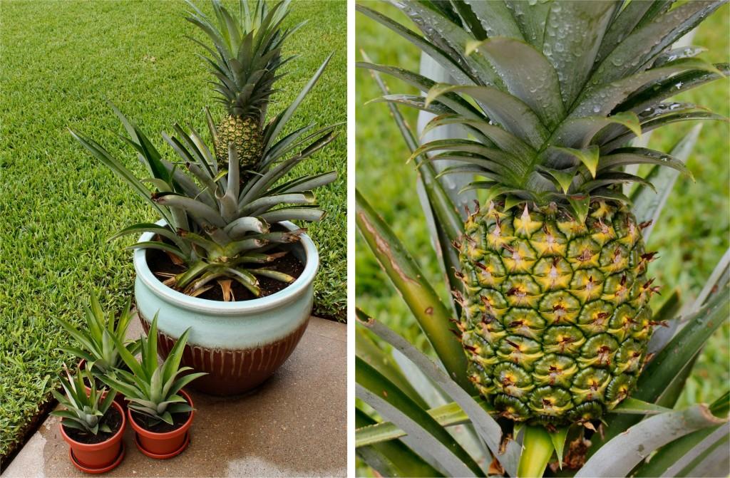 ананас в домашних условиях