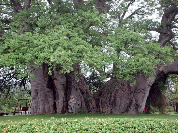 необычные деревья-9