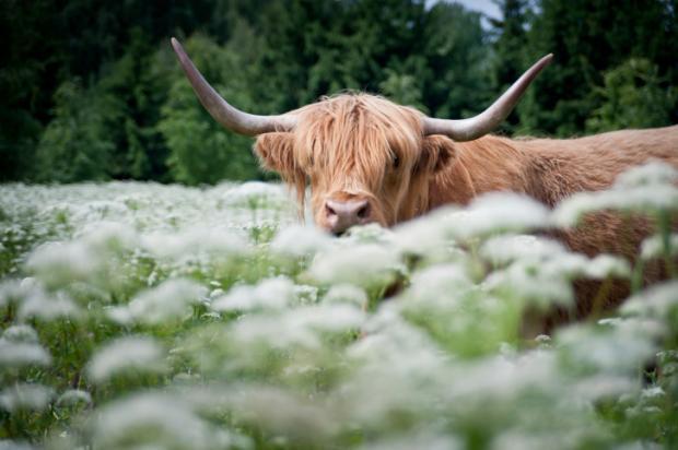 Дикие быки в Нидерландах