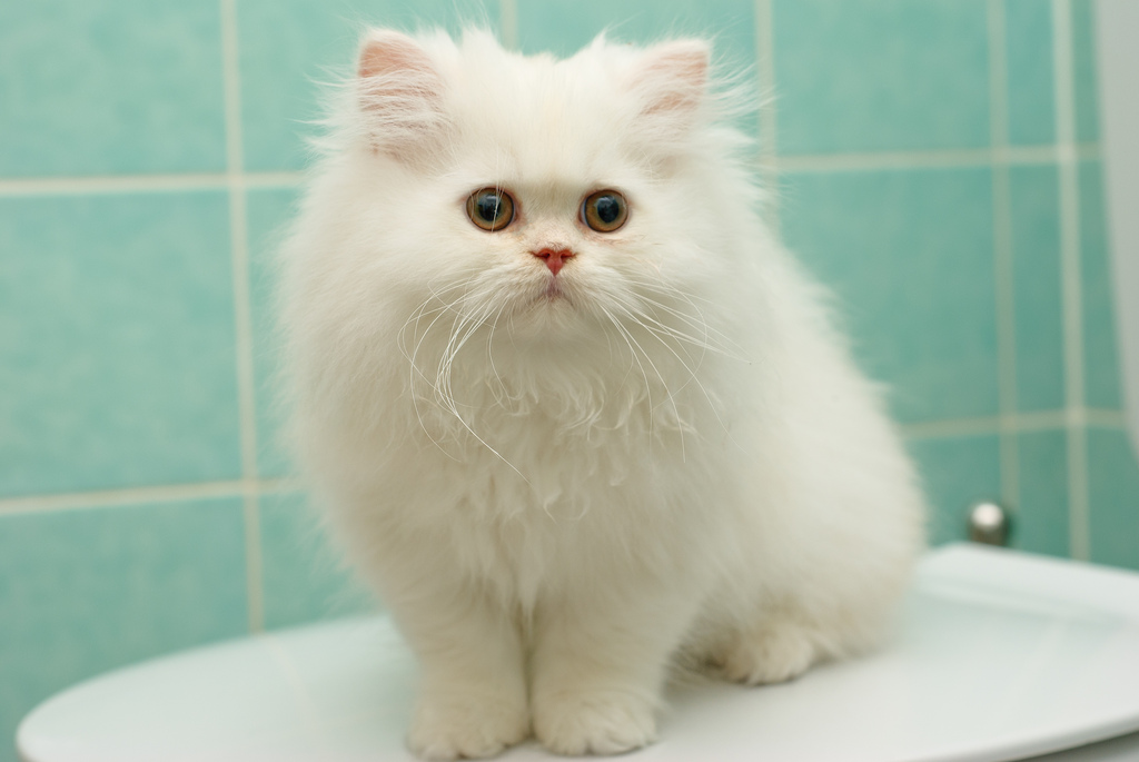 CATS-PICTURES.ORG_-_5010-1024x685-persian+cat-memberx-solo-white+hair-pink+nose-sitting