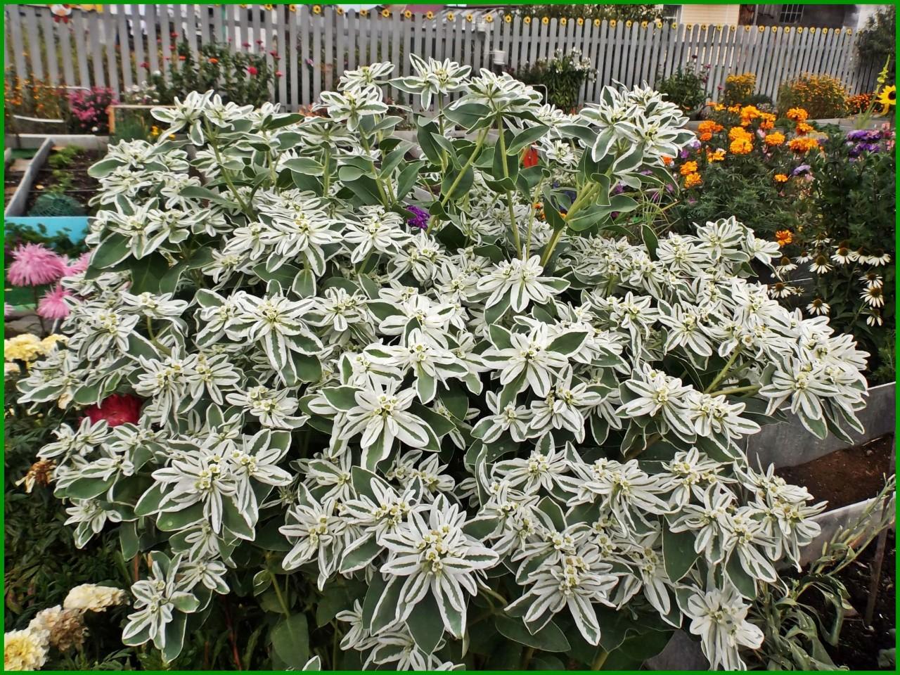 Цветок эуфорбия маргината фото