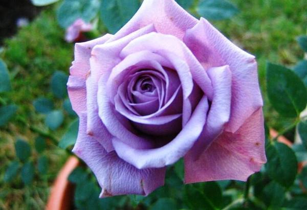 Роза миниатюрная сорт Lavender Meillandina, фото с сайта davesgarden.com