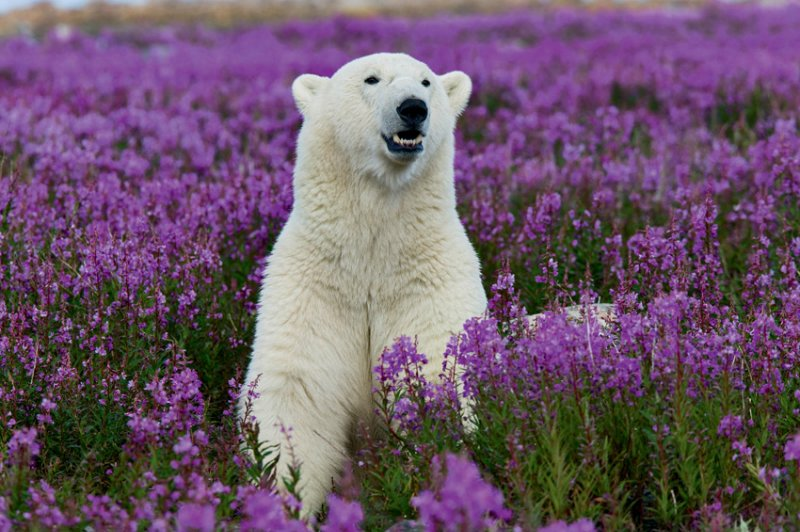 Белые медведи, пингвины и кто-то между.