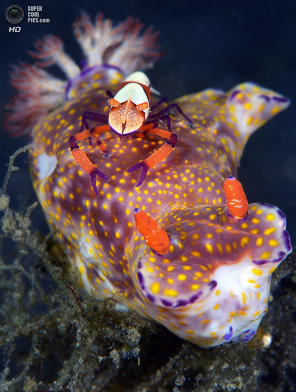 Категория: Macro/Nudibranchia. 1 место. (Marchione Giacomo/UnderwaterPhotography.com)