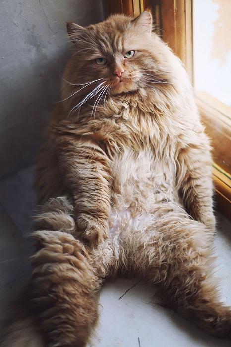 Нет, моя кошка не толстая!!! Она просто пушистая...очень...и кость у нее широкая!