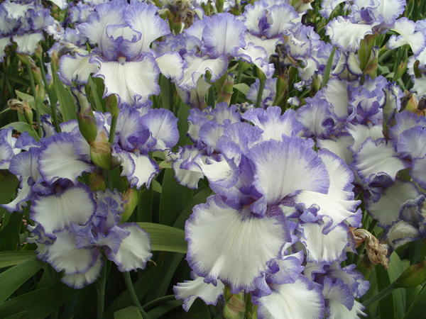 Цветет ирис сорт Classic Look