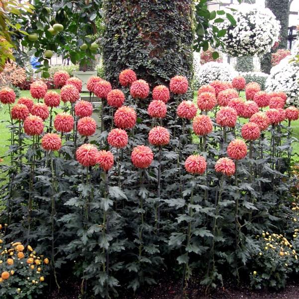 сформированные кусты садовых хризантем