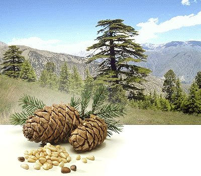 Полезные свойства кедровых орехов