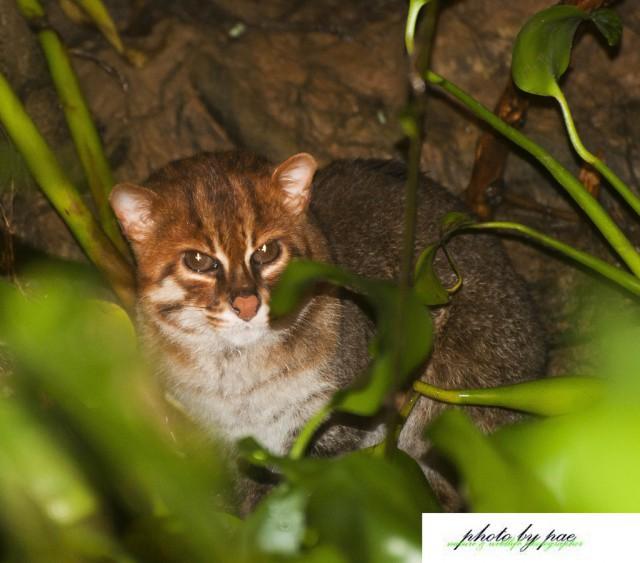 Дикие кошки: ржавая кошка с плоской головой дикие кошки, животные