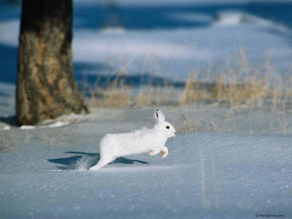 Дикий кролик в России