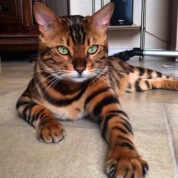 Бенгальский кот невероятный красоты покоряет сердца миллионов
