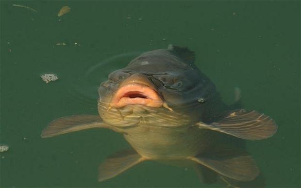 когда клюет рыба толстолобик